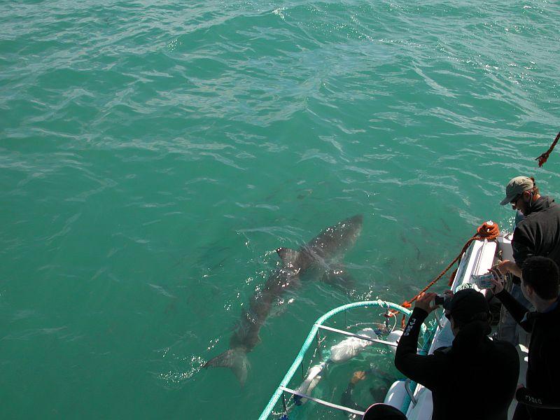 riesiger weißer hai gesichtet