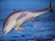 Grosstümmler-Delphin
