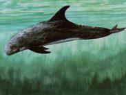 Rundkopf-Delphin