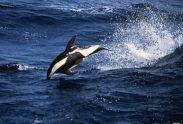Stundenglas-Delphin