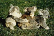 koala09